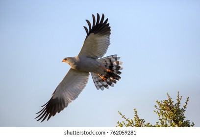 Beautiful Goshawk Bird of Prey with Wings Spread
