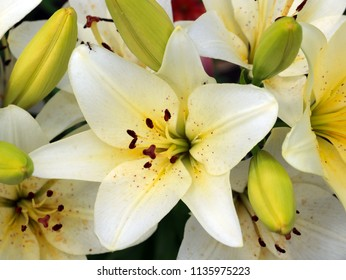 beautiful graceful flowers of a garden lily on a meadow