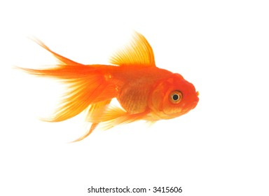 A beautiful, graceful goldfish swimming in the water