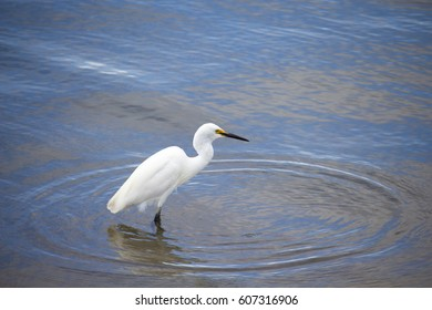 A beautiful graceful white Australian Great Egret (Ardea alba) is standing in the shallow water  of the Leschenault Estuary , Bunbury ,Western Australia looking for fish to eat on a cloudy day.