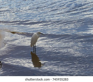 A beautiful graceful white Australian Great Egret (Ardea alba) is standing in the shallow water of the Leschenault Estuary ,Bunbury ,Western Australia looking for fish to eat on a cloudy  afternoon.
