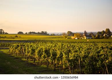 Beautiful Grape farm near Saint Emilion, Bordeaux, France.