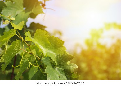 Grape Leaves Background Images Stock Photos Vectors Shutterstock