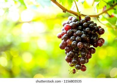Beautiful graps on tree grap at  vineyard