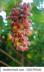 Beautiful graps on tree grap at vineyard.Bozcaada/Turkey.