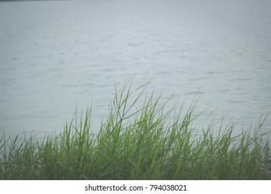 Beautiful grass on the lake
