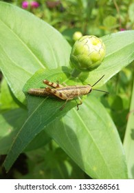 beautiful  grasshopper on tropical beautiful flowers
