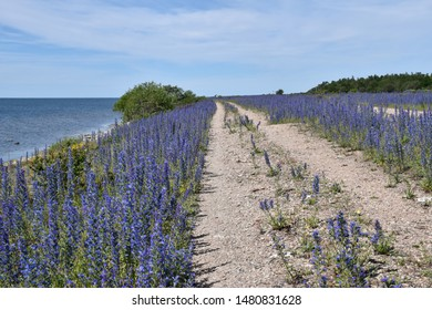 Beautiful gravel road along a coast with blossom blueweed flowers at the swedish nature reserve by Knisa on the island Oland