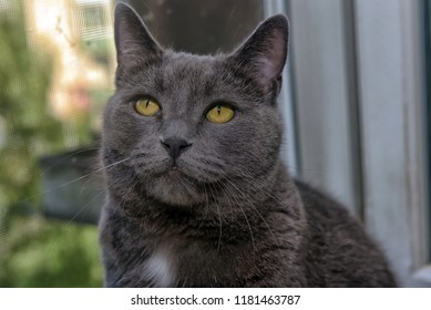 beautiful gray British cat with a white speck on the chest