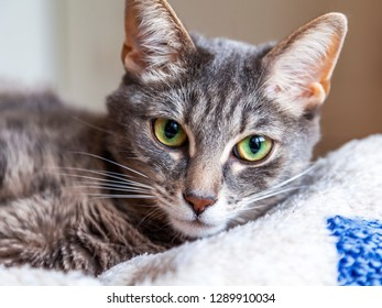 The beautiful gray cat