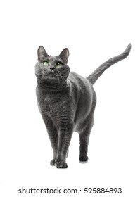 A beautiful gray cat breeds Russian blue goes in front. Background is isolated.
