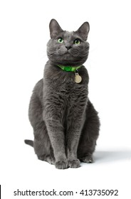 a beautiful gray cat with green eyes sitting isolated on white background, he looks into the camera, neck green collar with medal