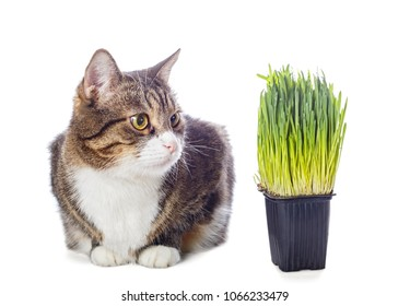 Beautiful gray cat and green grass isolated on white background