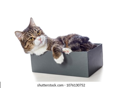 Beautiful gray cat lying in a Shoe box isolated on white
