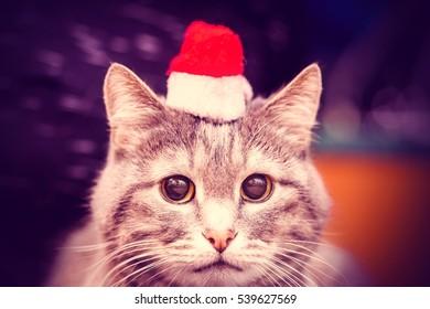 Beautiful gray cat in red Santa hat