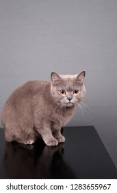 Beautiful gray cat with yellow eyes on a gray background