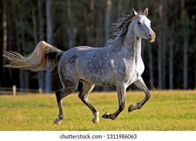 Beautiful gray dapple Arabian Mare galloping in meadow, late afternoon sunlight.