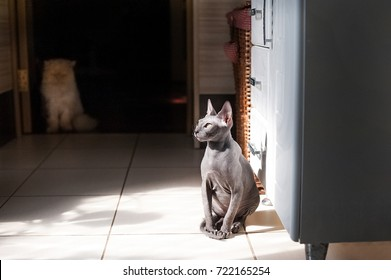A beautiful gray domestic cat Sphinx lies on a bed with a white woolen blanket. The cat sits in the bathroom with a white wardrobe and a wicker basket.