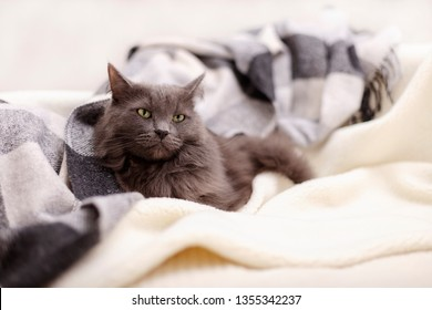 Beautiful gray fluffy cat sleeping on the couch. Selective focus.