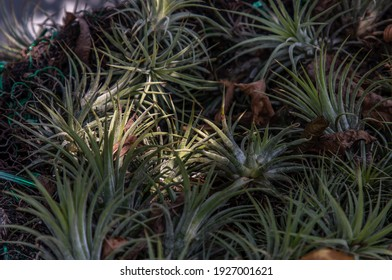 Beautiful gray green plants of Tillandsia or Air plant in the botanical garden. Flowering Plant, No focus, specifically.