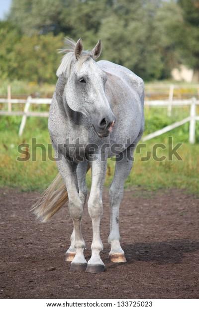 Beautiful gray horse portrait in paddock in summer