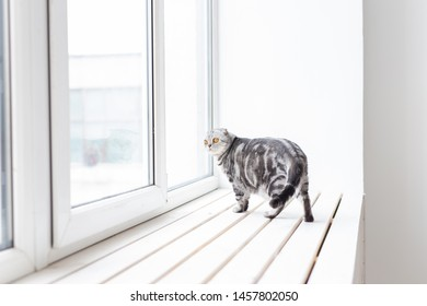 Beautiful gray lop-eared scottish cat walks cautiously around a new white window-sill while studying its new housing. The concept of animal welfare and care for pedigreed cats.