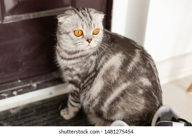 Beautiful gray lop-eared scottish cat walks around a door while studying its new housing. The concept of animal welfare and care for pedigree cats.