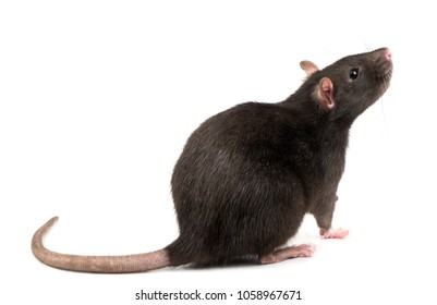 Beautiful gray rat isolated on white background