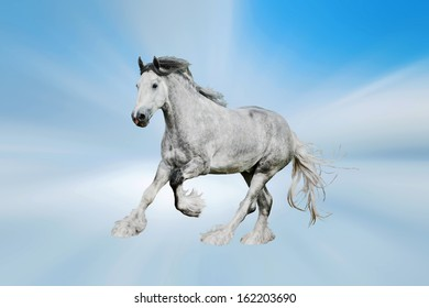 Beautiful gray shire stallion running