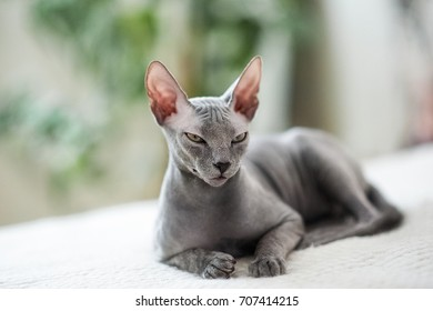 A beautiful gray sphinx cat sitting on a white background. Cat gracefully lies on the bed against the background of indoor plants