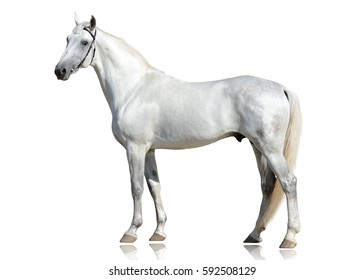 The beautiful gray stallion Orlov trotter breed stand isolated on white background side view