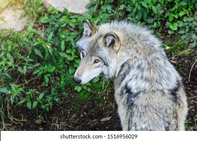 Beautiful gray wolf running, in the forest background. Close to wolf in natural environment. Close up portrait of a Timber wolf in the Canadian forest during the summer or fall season.