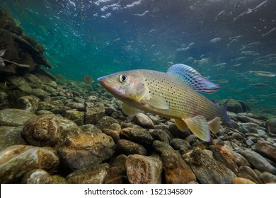 Beautiful Grayling models in crystal-clear water with sun in the background. Nature Habitat in Austrian Alps (Pielach).