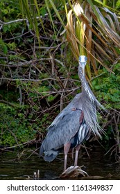 A beautiful Great Blue Heron appears to be trying to intimidate  me with a menacing stare. Image captured at a small rookery on Hilton Head Island, SC.