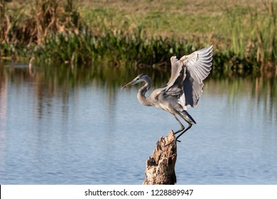 Beautiful Great Blue Heron in Florida Marsh