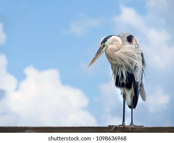 Beautiful Great Blue Heron Standing on an Florida Ocean Pier on a Cloudy Day