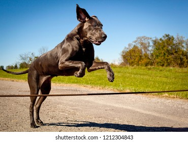 A beautiful great Dane leaping over a wire