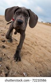 Beautiful Great Dane puppy on the beach