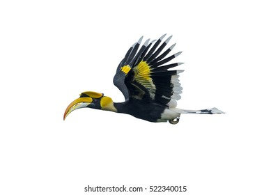 Beautiful great Hornbill flying isolated on white background