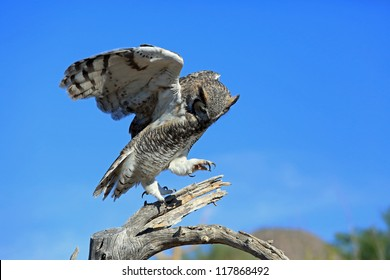 Beautiful great horned owl landing on a tree limb