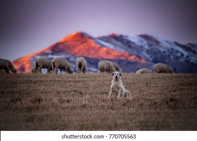 Beautiful Great Pyrenees dog watching over a flock of sheep on a cold wintry morning during a colorful sunrise