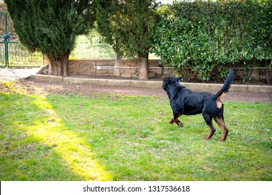 Beautiful great rottweiler running in the garden. Cute watchdog playing outdoors
