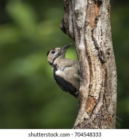 Beautiful Great Spotted Woodpecker bird Dendrocopos Major on tree stump in forest landscape setting