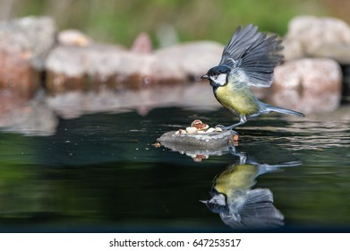 """The beautiful Great Tit (Parus major) just arrived to the """"peanut-island"""" in the pond with the wings raised so you can se all primaries even reflecting in the water."""
