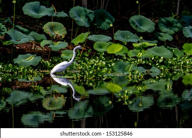 A Beautiful Great White Egret Among Lotus Water Lilies, (Ardea alba), with a Beautiful Reflection in the Water, Out Hunting for a Meal on 40 Acre Lake at Brazos Bend, Texas.