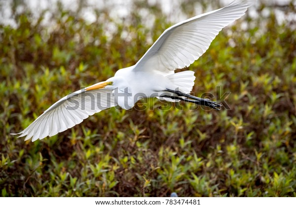 Beautiful great white egret flying in Florida