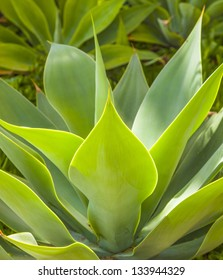 beautiful green agave leaves