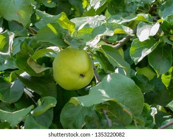 beautiful green apple is growing on the tree