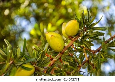 Beautiful green Argan fruits (nuts) on a branch of an Argan tree (Argania spinosa). Photo was taken near Agadir, Morocco.