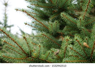 Beautiful green background of pine trees. Winter time in Germany. Christmas trees on the plantation.